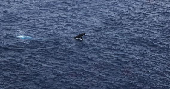 kauai-helicopter-whale2