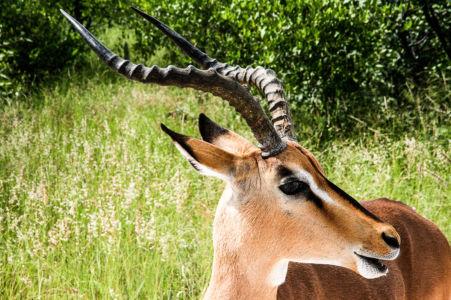 Blackfaced Impala at Etosha