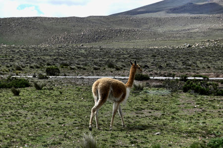 On our way to Colca Canyon, Peru. A lama animal.