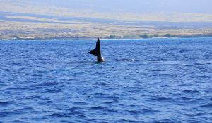 Hawaii-bigisland-whale-10