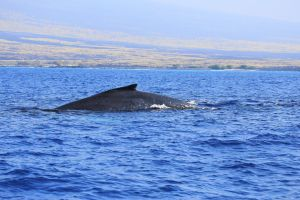 Hawaii-bigisland-whale-11