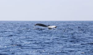 Hawaii-bigisland-whale-5