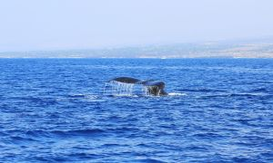 Hawaii-bigisland-whale-6