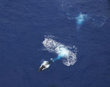 kauai-helicopter-whale4