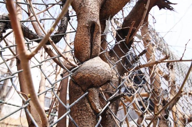 Ett träd i East Village som växt sig in i ett stängsel.