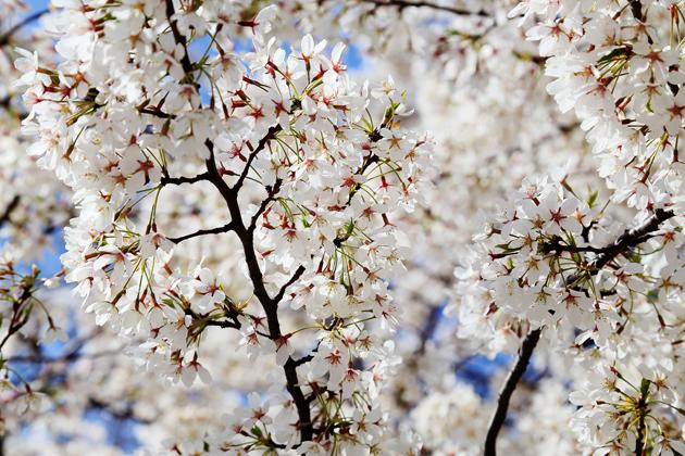Montgomery Street. Nu blommar körsbärsträden, eller vad det nu är.